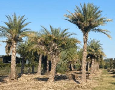 Palma Datilera Plateada
