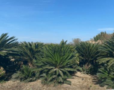 Palma Zica