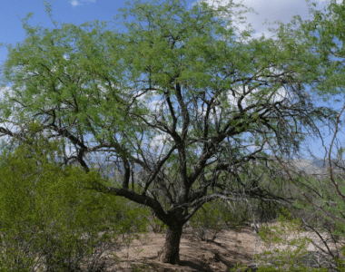 Mezquite Chileno