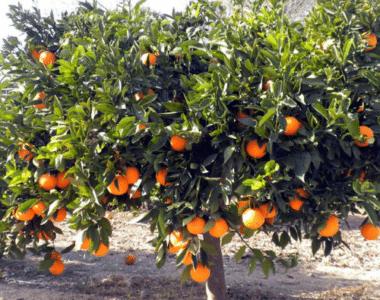 Naranja Parson Brown