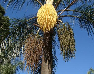 Palma Coco Plumoso
